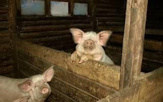 Как построить свинушник дома?