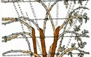 Правила обрезки плетистых роз на зиму